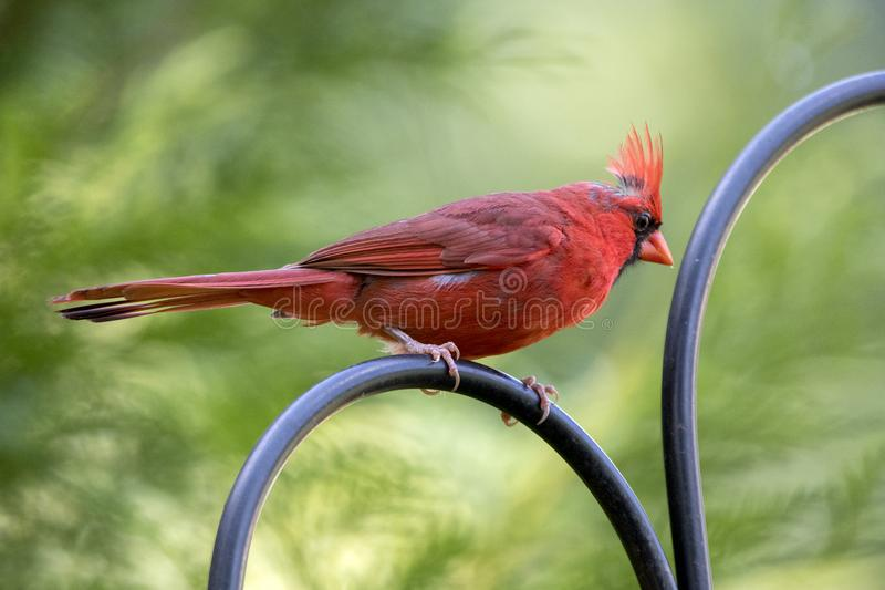 Cardinale nordico maschio rosso Bird, Atene Georgia U.S.A. fotografia stock