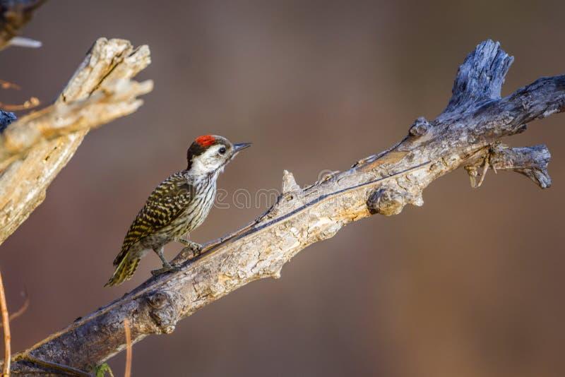 Cardinale Woodpecker nel parco nazionale di Kruger, Sudafrica fotografia stock libera da diritti