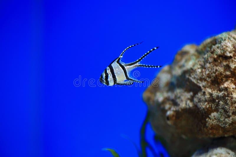 Cardinalfish de Banggai fotografía de archivo libre de regalías