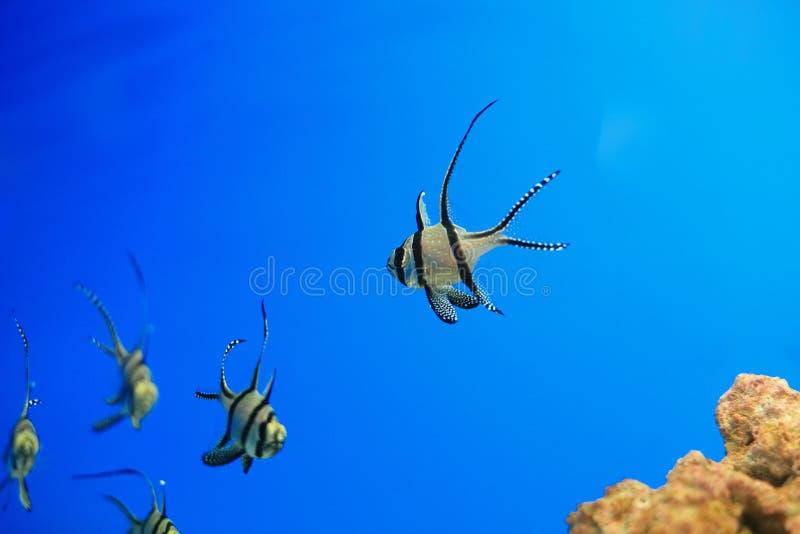 Cardinalfish de Banggai imagen de archivo libre de regalías