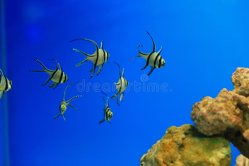 Cardinalfish de Banggai imágenes de archivo libres de regalías