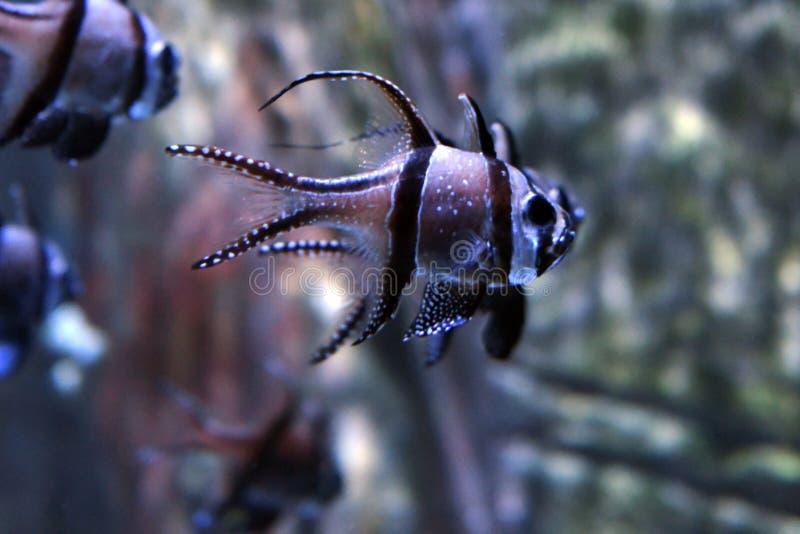 Cardinalfish de Banggai del kauderni de Pterapogon foto de archivo