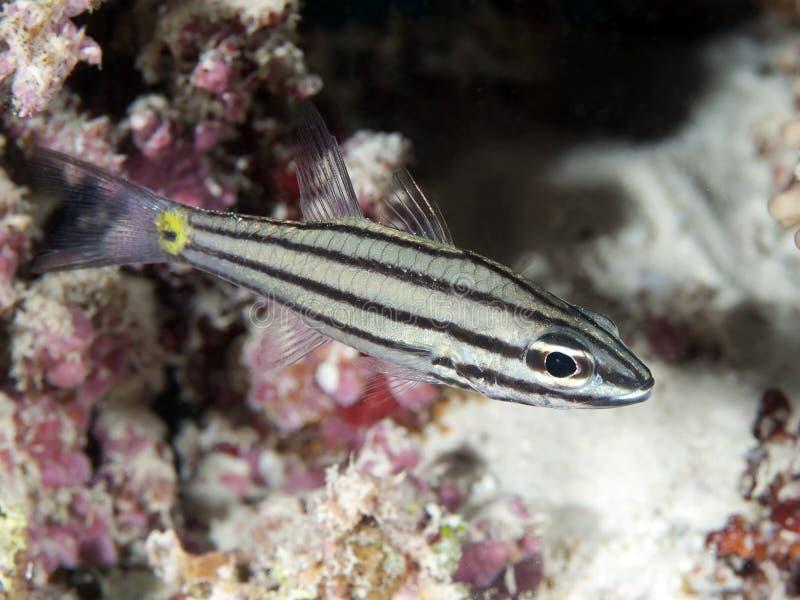 Cardinalfish de Fiveline imagen de archivo libre de regalías