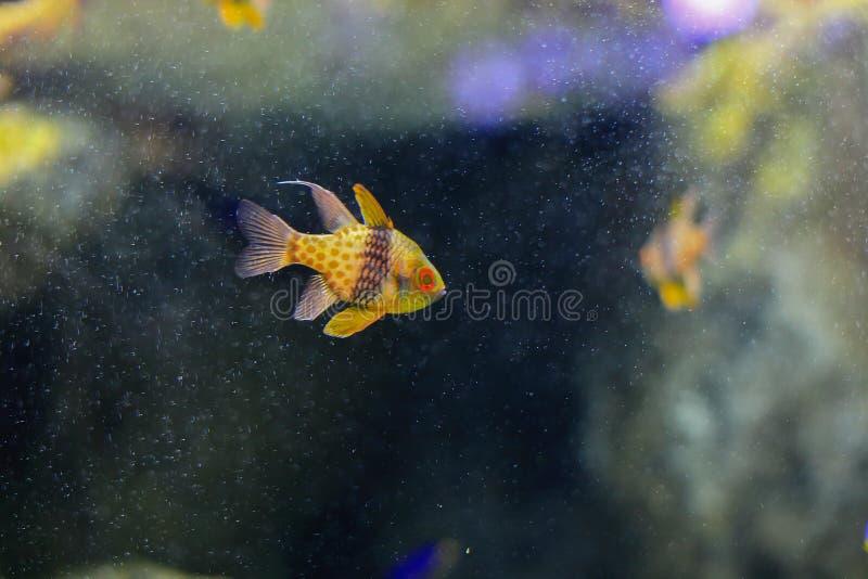 Cardinalfish del pijama fotos de archivo