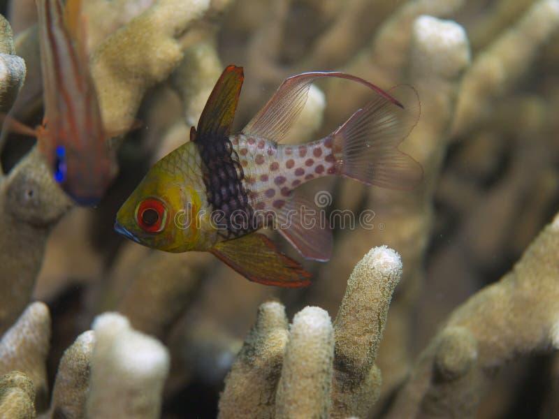 Cardinalfish 01 del pijama fotografía de archivo