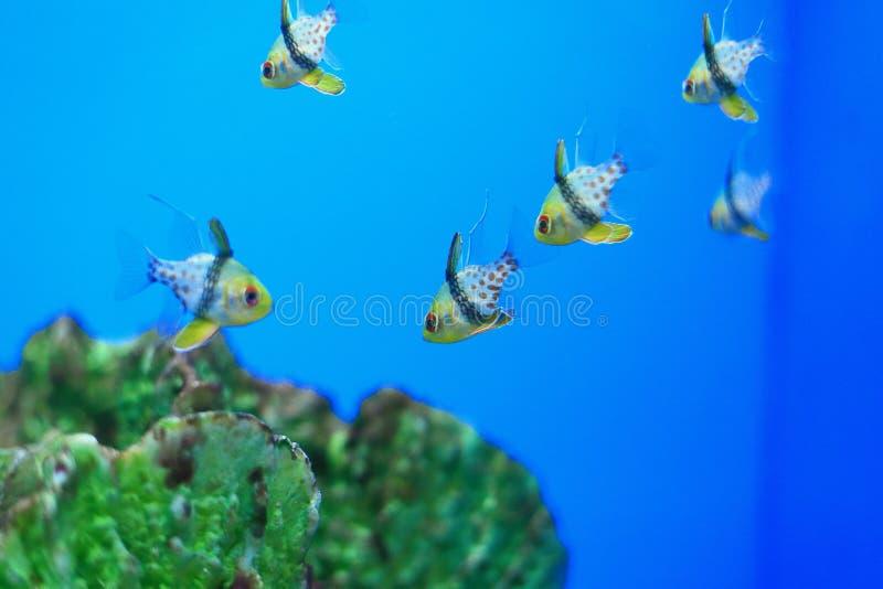 Cardinalfish del pijama imagen de archivo libre de regalías