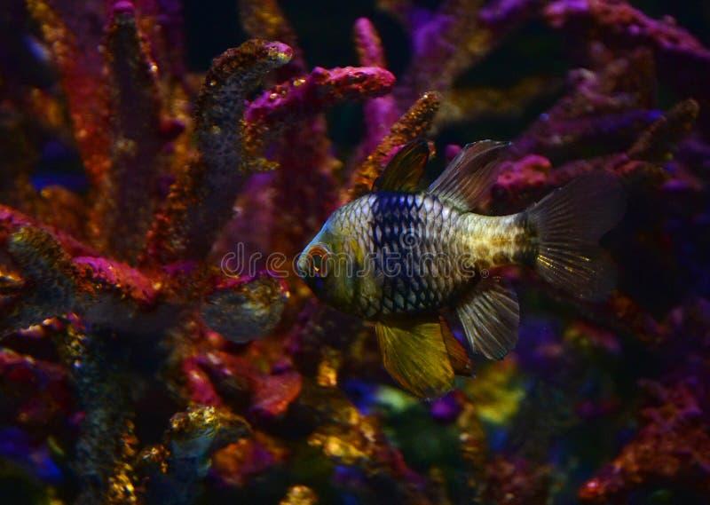 Cardinalfish del pijama foto de archivo libre de regalías