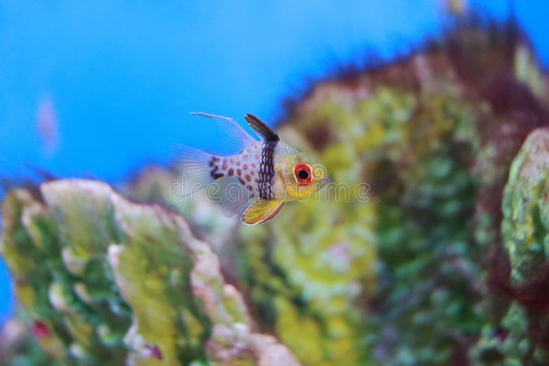 Cardinalfish del pijama imagenes de archivo