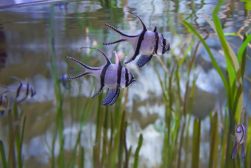 Cardinalfish di Banggai - kauderni di Pterapogon Mondo subacqueo meraviglioso e bello con il pesce tropicale immagini stock libere da diritti