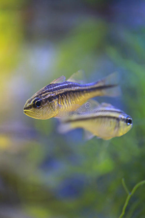 Cardinalfish lub Apogonichthyoides Niger ryba fotografia stock