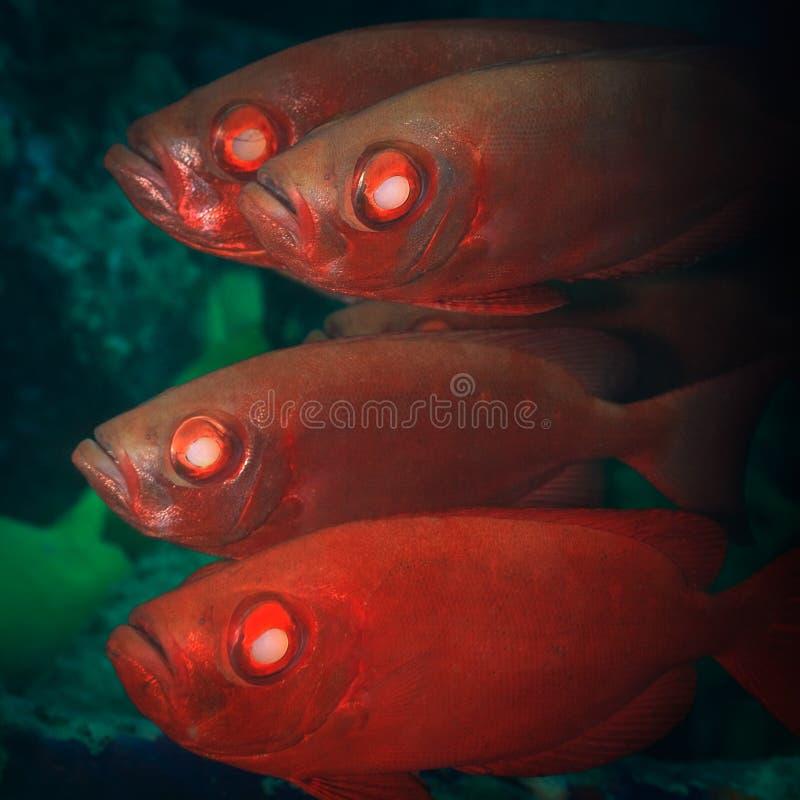 Cardinalfishes foto de stock royalty free