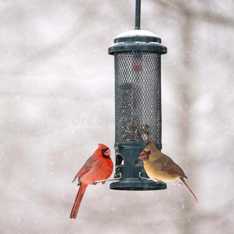 Cardinali maschii e femminili all'alimentatore immagine stock