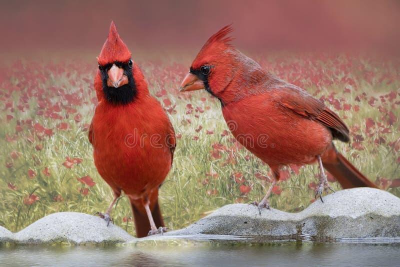 Cardinali nordici sulla vaschetta per i uccelli immagine stock libera da diritti