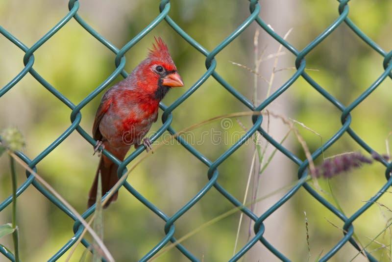Cardinalis ενός τα αρσενικά βόρεια βασικά Cardinalis εσκαρφάλωσαν να προμηθεύσουν με ζωοτροφές φρακτών για τους σπόρους Ένα δονού στοκ φωτογραφία