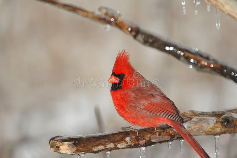 Cardinalis cardinalis 免版税库存照片