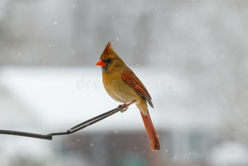 Cardinalis cardinaux du nord femelles de Cardinalis photos stock