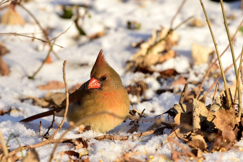 Cardinalis Cardinalis imagem de stock royalty free