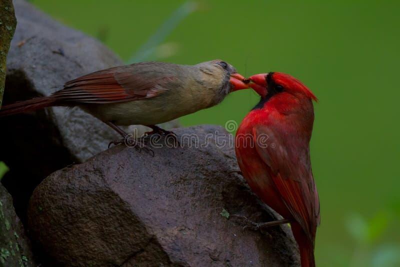 Cardinals feeding stock image