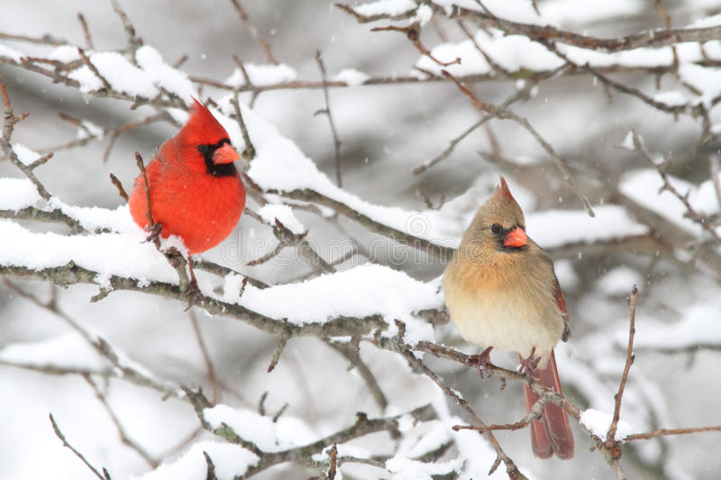 Cardinals In Snow. Pair of Northern Cardinal (cardinalis cardinalis) in a tree in a snow storm royalty free stock photo
