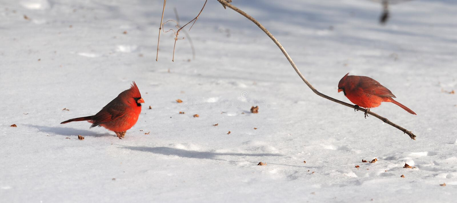 Download Cardinals on Snow stock photo. Image of nature, north - 21493356