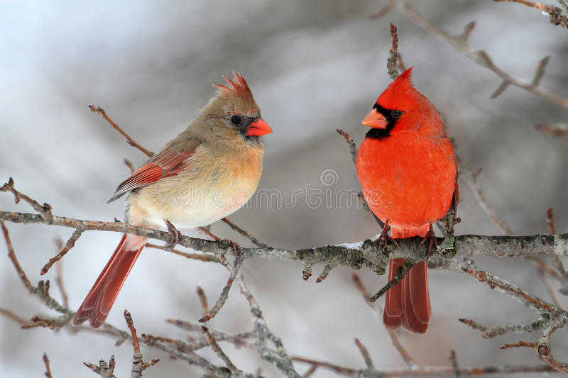Download Cardinals In Snow stock image. Image of branch, avian - 21588857