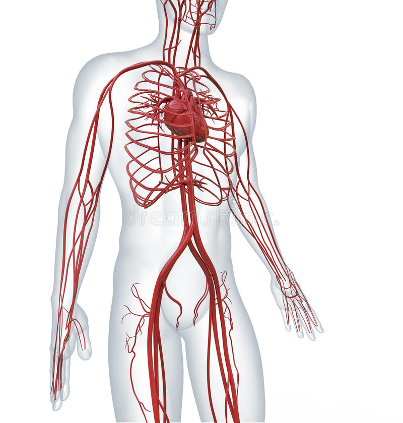 Cardiovascular circulatory. Heart and cardiovascular circulatory system royalty free illustration