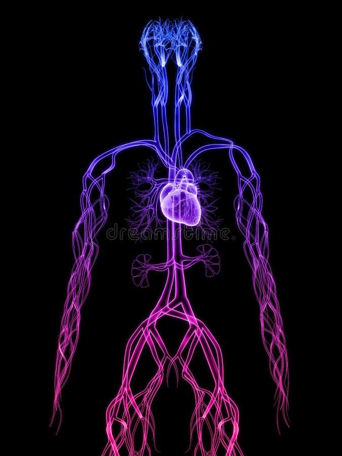 Cardiovascular system. 3d rendered anatomy illustration of the human cardiovascular system vector illustration