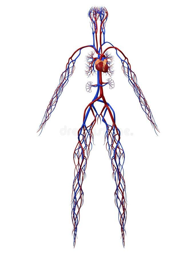Cardiovascular system royalty free illustration