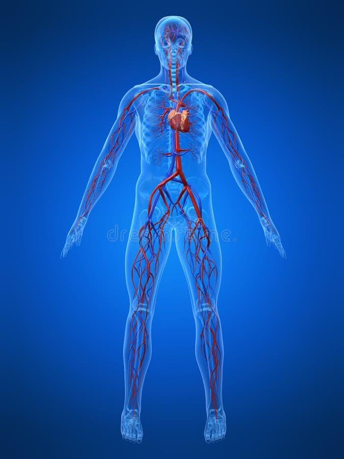 Cardiovascular system stock illustration