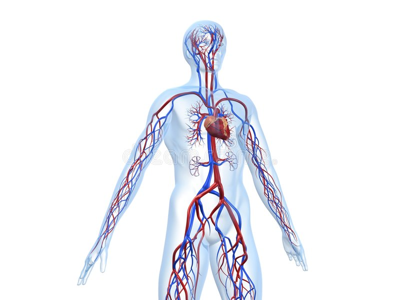 Cardiovascular system stock illustration. Illustration of ...