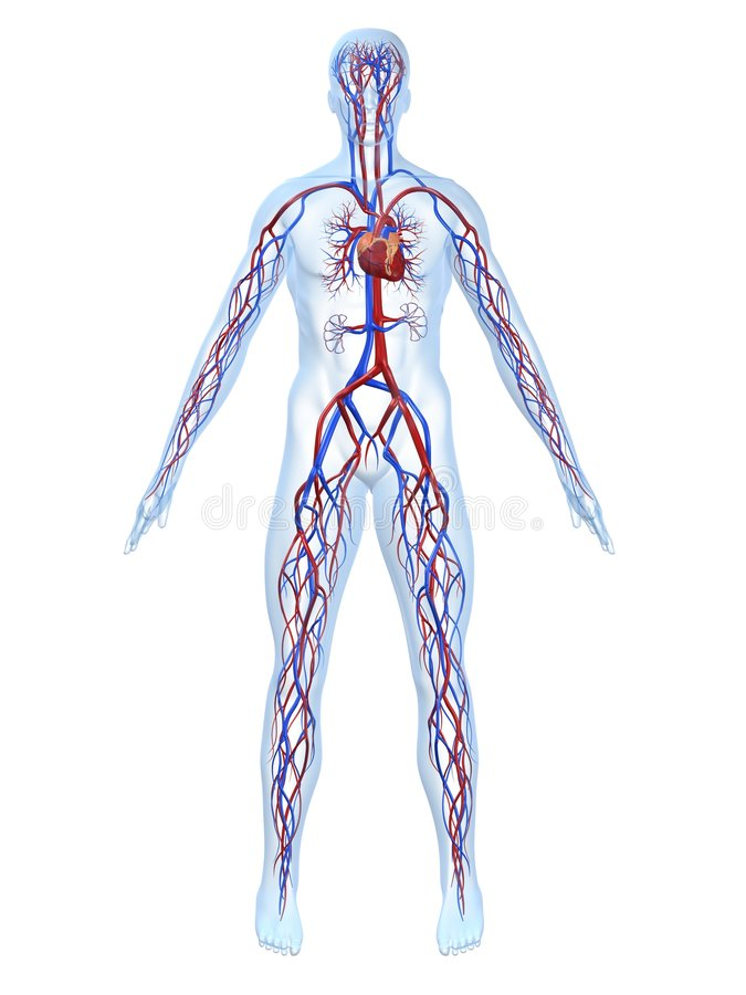 Cardiovascular system stock illustration