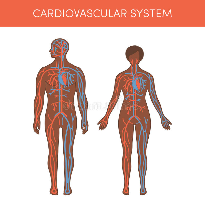 Cardiovascular system. Of a human. Cartoon illustration for medical atlas or educational textbook. Physiology of a black male and female stock illustration