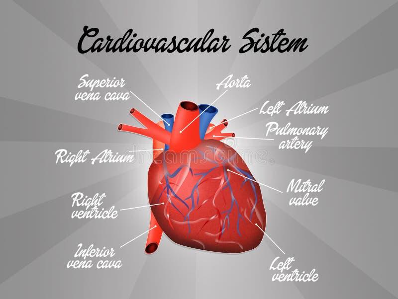 Cardiovascular system. Illustration of human cardiovascular system vector illustration
