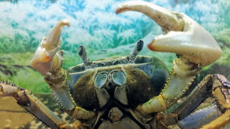 Cardisoma armatum - Rainbow Crab acting aggressively with his claws raised royalty free stock photos
