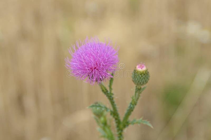 Download Cardo imagen de archivo. Imagen de flor, verde, travieso - 64201087