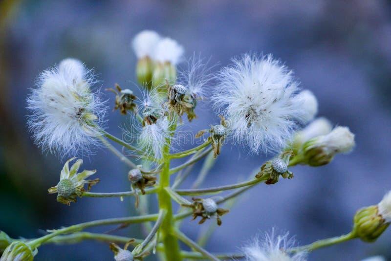 Cardo blanco en el campo Las flores secadas del cardo en la luz del sol flores mullidas blancas de la mala hierba imagen de archivo libre de regalías