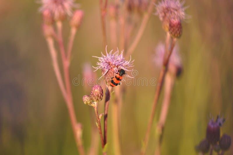 Cardo con el insecto foto de archivo libre de regalías