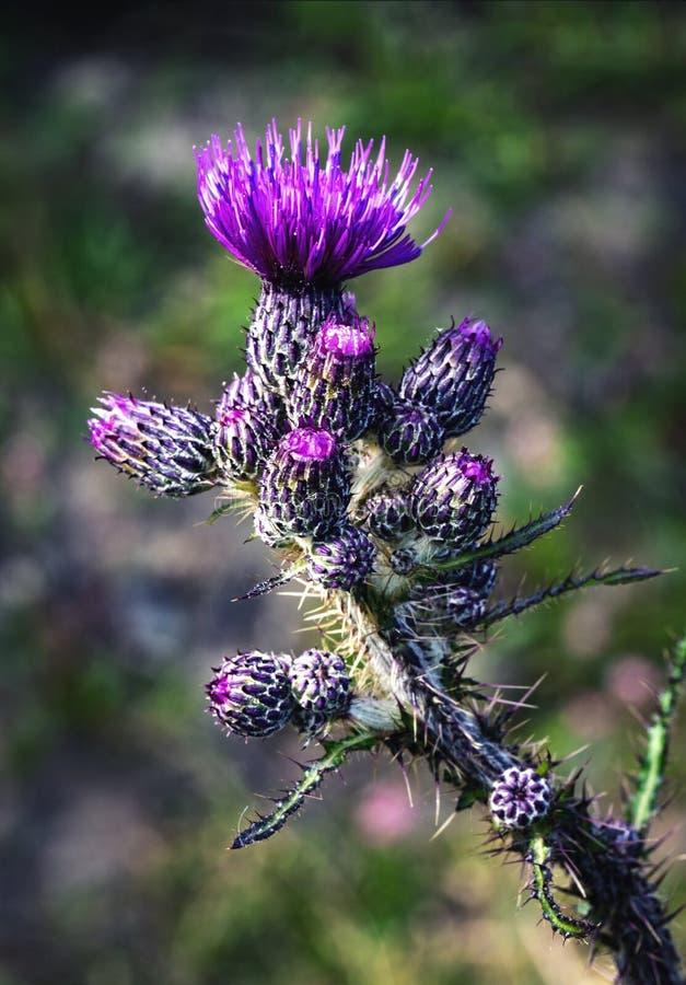 Cardo de la púrpura de la inflorescencia del detalle imagen de archivo libre de regalías