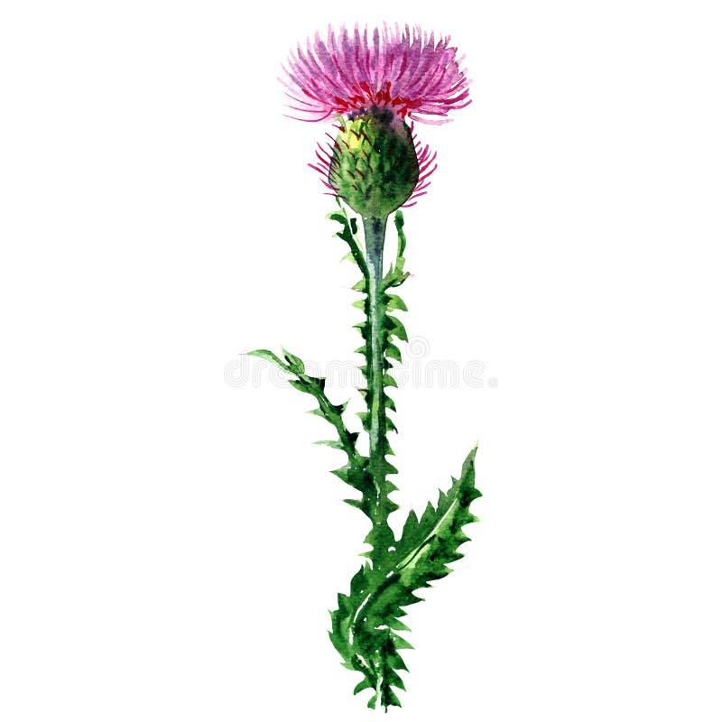 Cardo de leite roxo, Silybum Marianum, planta selvagem, flor da medicina com folha, erva, isolada, aquarela tirada mão ilustração stock
