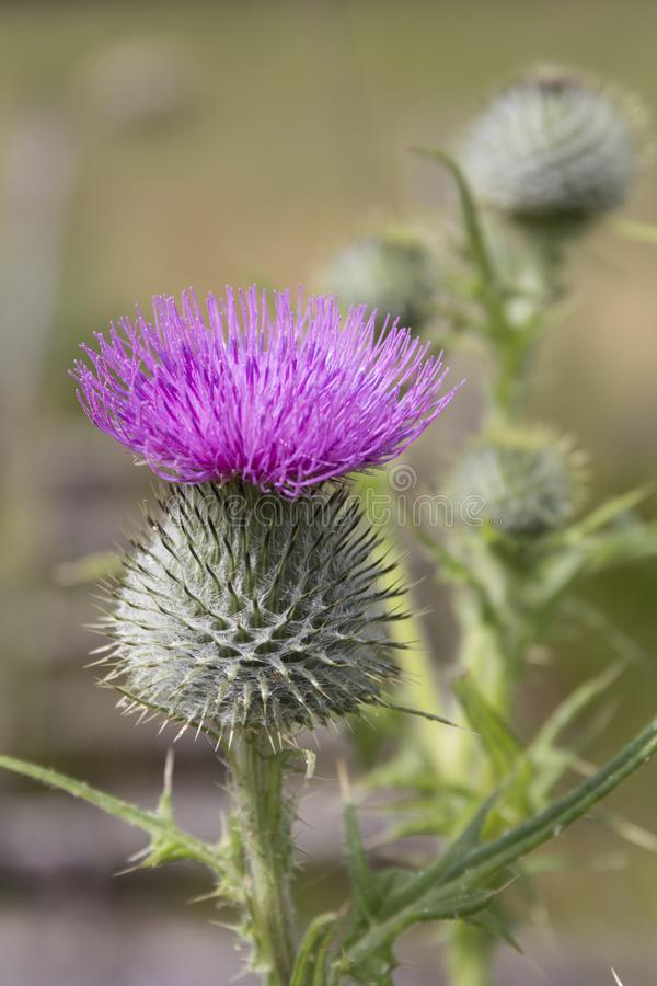 Cardo - flor de Escócia imagem de stock