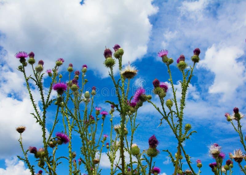 Cardo floreciente en troncos espinosos debajo de un cielo azul con las nubes fotografía de archivo libre de regalías
