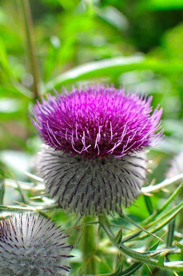 Cardo lanoso púrpura fotografía de archivo libre de regalías