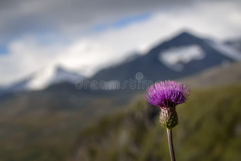 Cardo melancólico com paisagem coberto de neve da montanha no fundo imagens de stock royalty free