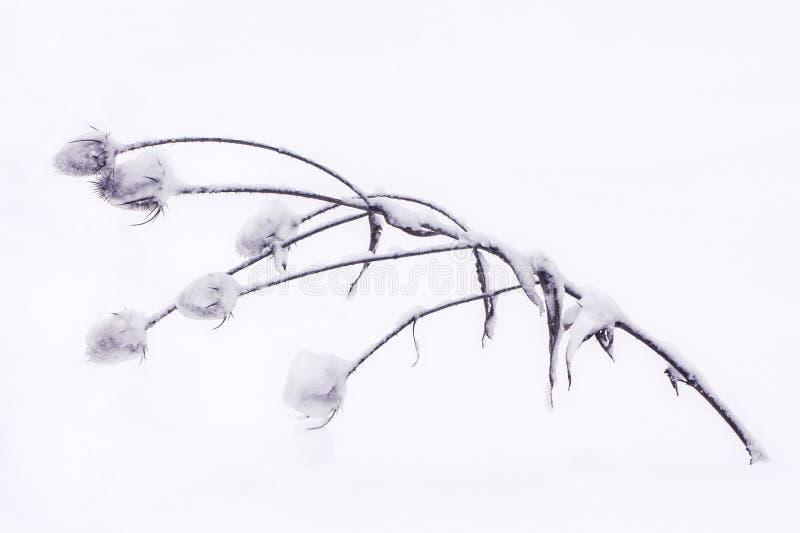 Cardo muerto cubierto en nieve imágenes de archivo libres de regalías