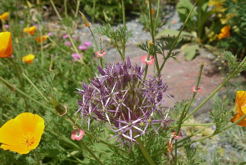 Cardo púrpura con las flores anaranjadas imagenes de archivo