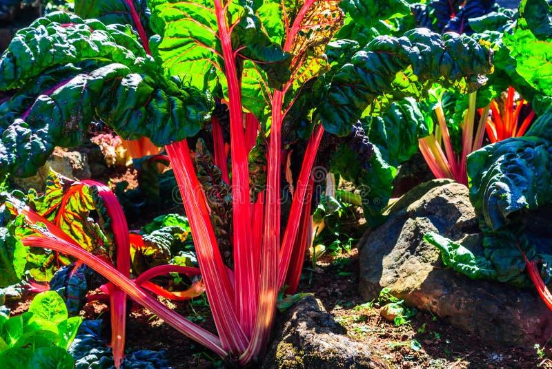 Cardo rojo que crece en un jardín imagenes de archivo