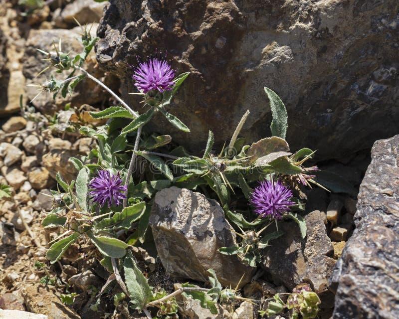 Cardo roxo do Knapweed do deserto do anão imagens de stock royalty free