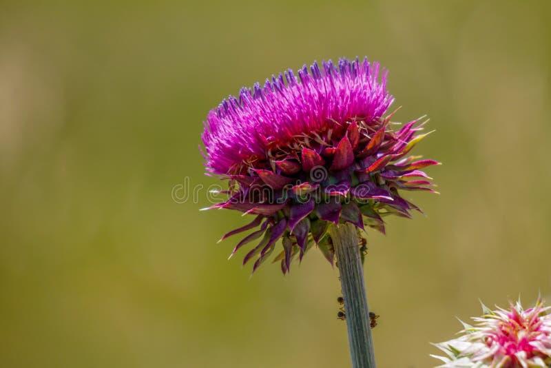 Cardo roxo na flor completa com fundo verde fotos de stock royalty free