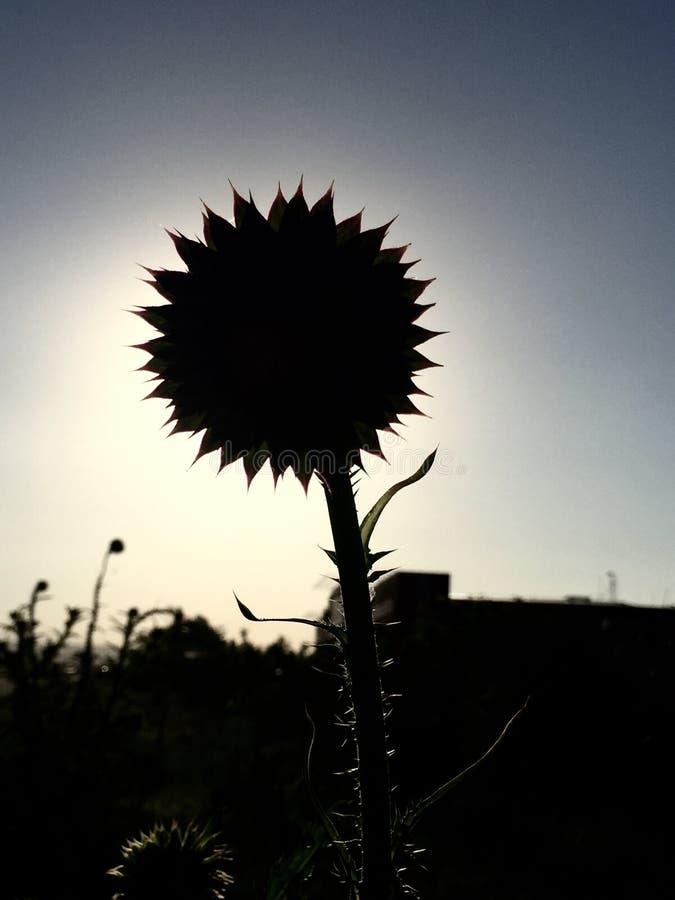 Cardo ` s kwiat obrazy stock