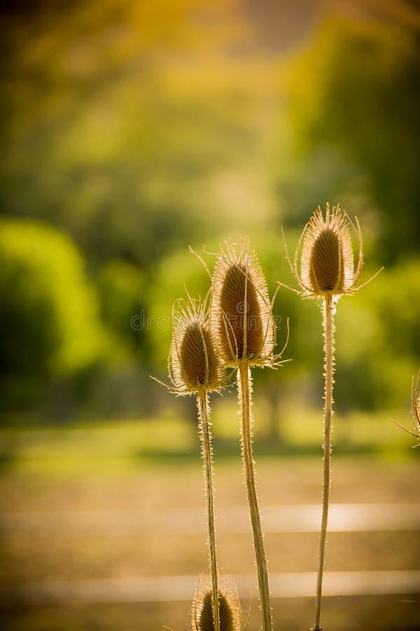 Cardo secado en Sun foto de archivo